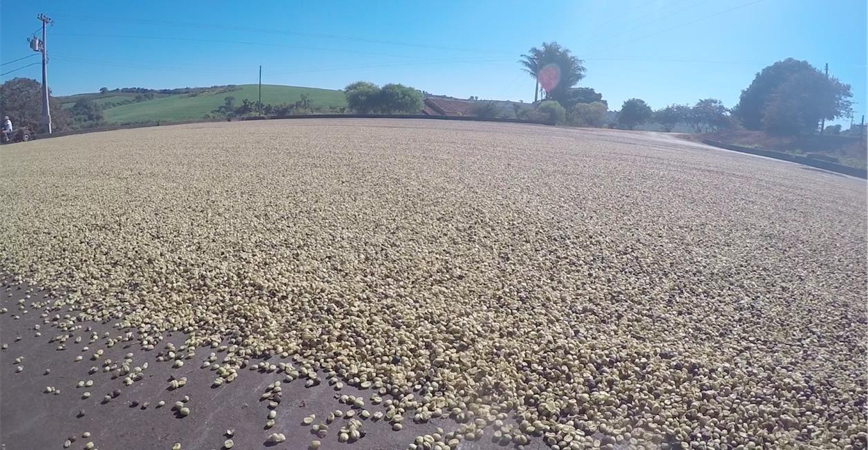 Terreiro com cereja descascado da Fazenda Estrela - Conheça o Acaiá Descascado e Catuaí Descascado
