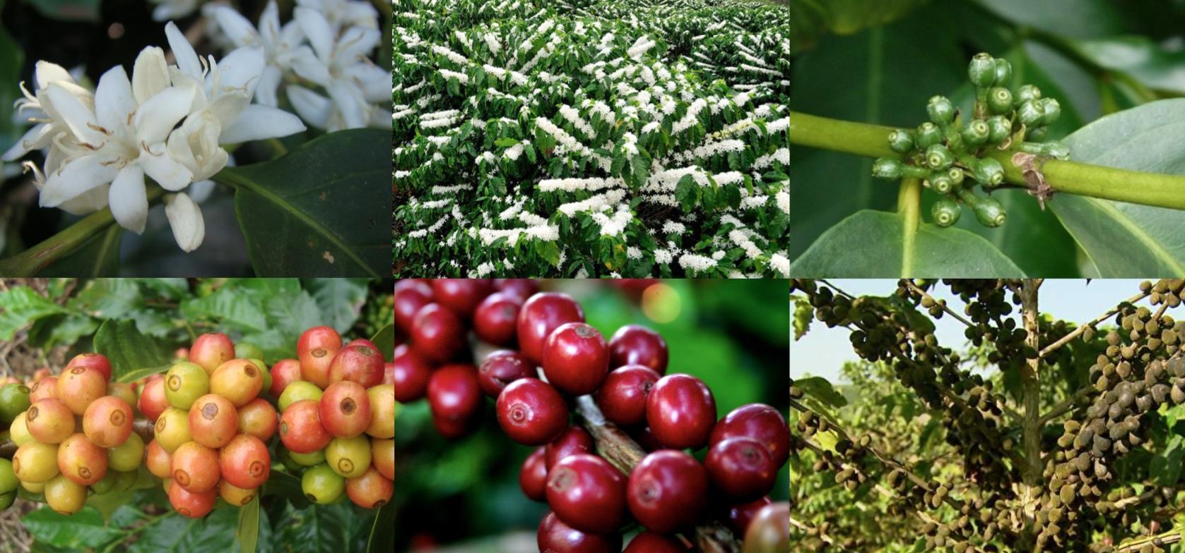 Passos que o fruto do café leva para se desenvolver
