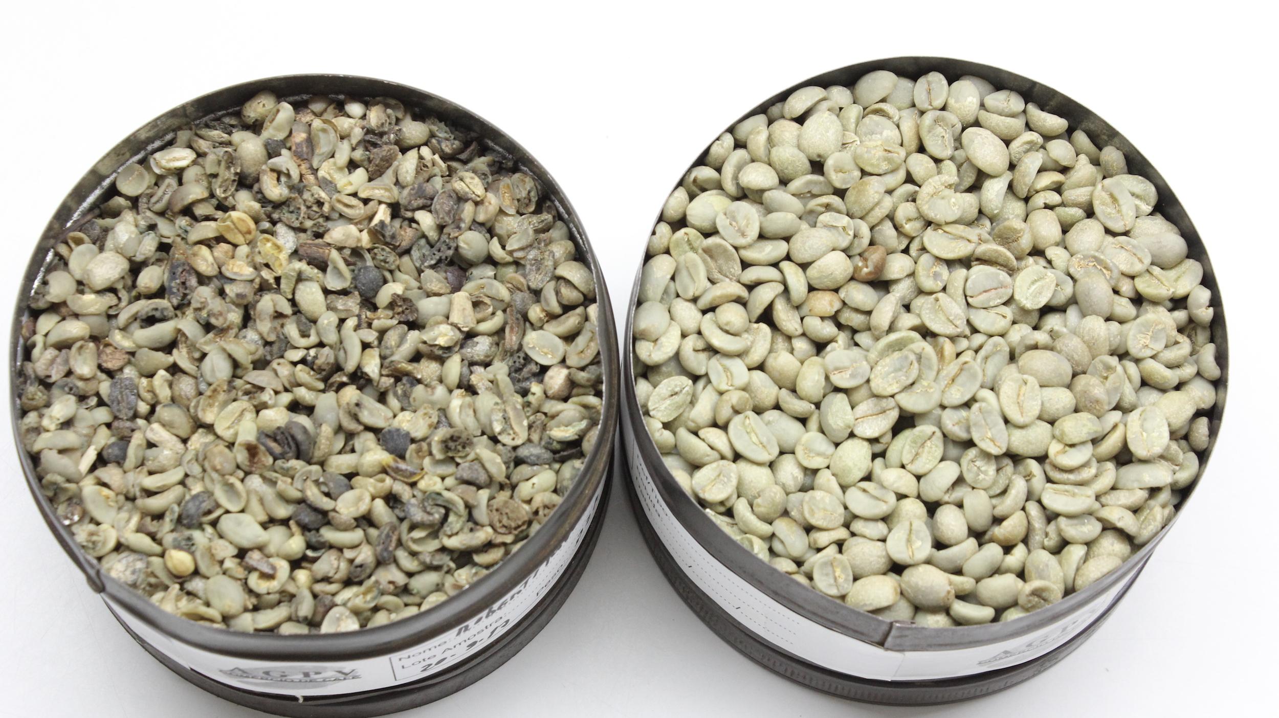 Amostras reais de café tradicional (esquerda) e café especial (direita)